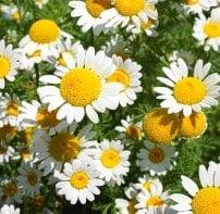 Blüten des Bertrams